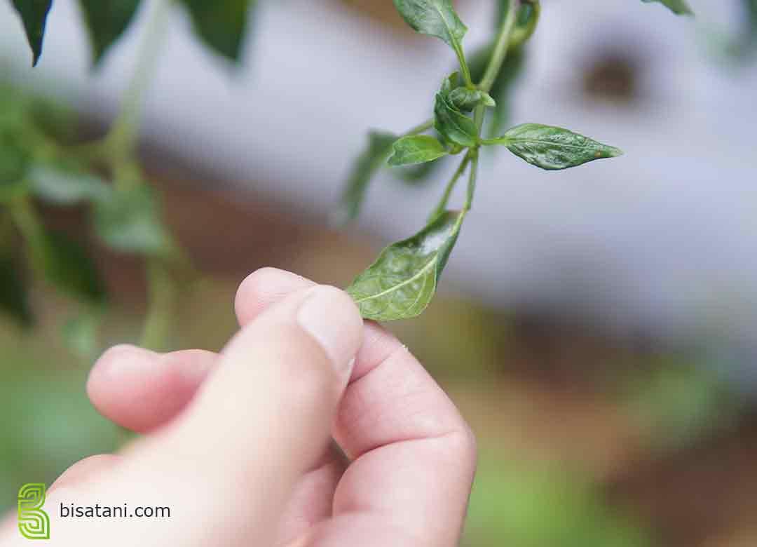 Cara mengobati daun cabai keriting