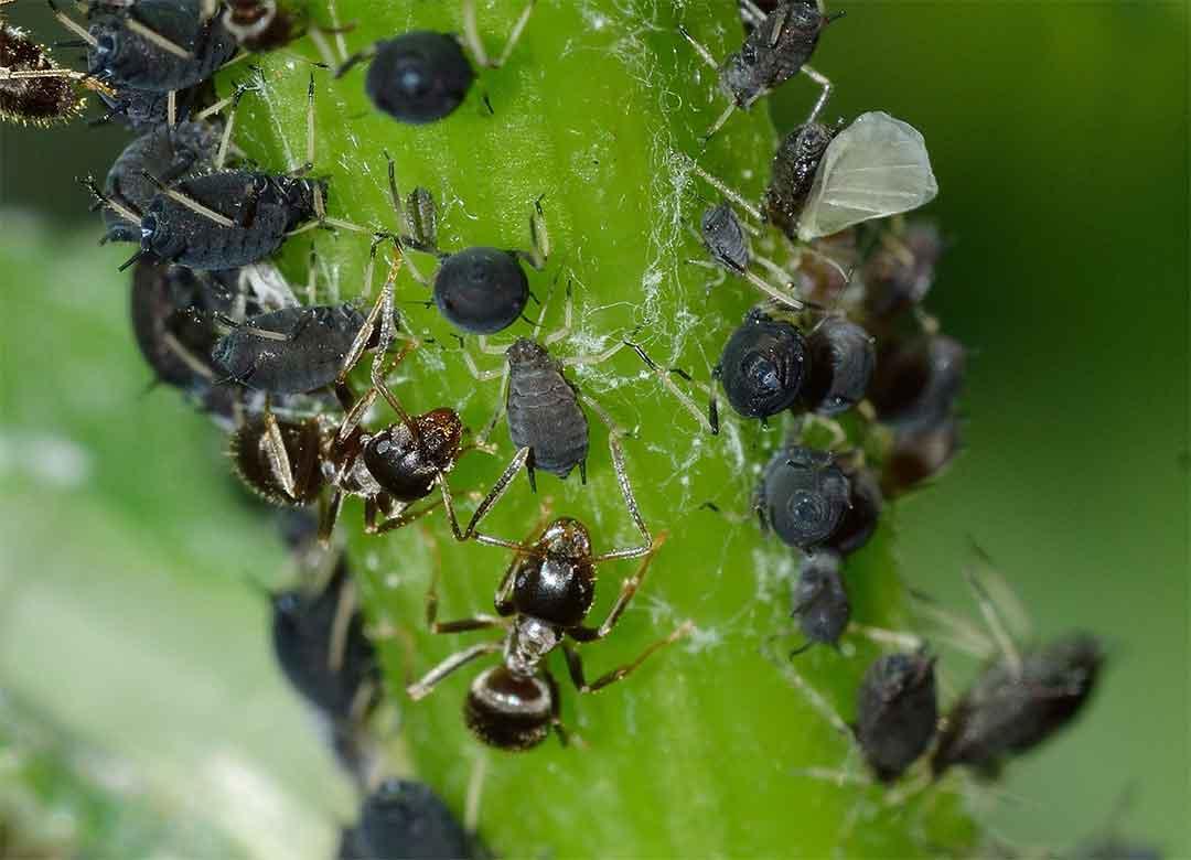 Mengenal insektisidsa dengan bahan aktif imidakloprid