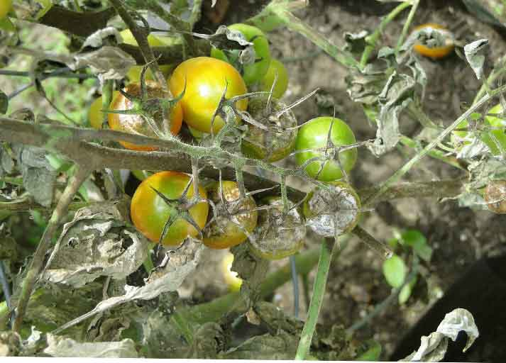 Klorotalonil : Bahan Aktif fungisida Yang Bekerja Secara Kontak