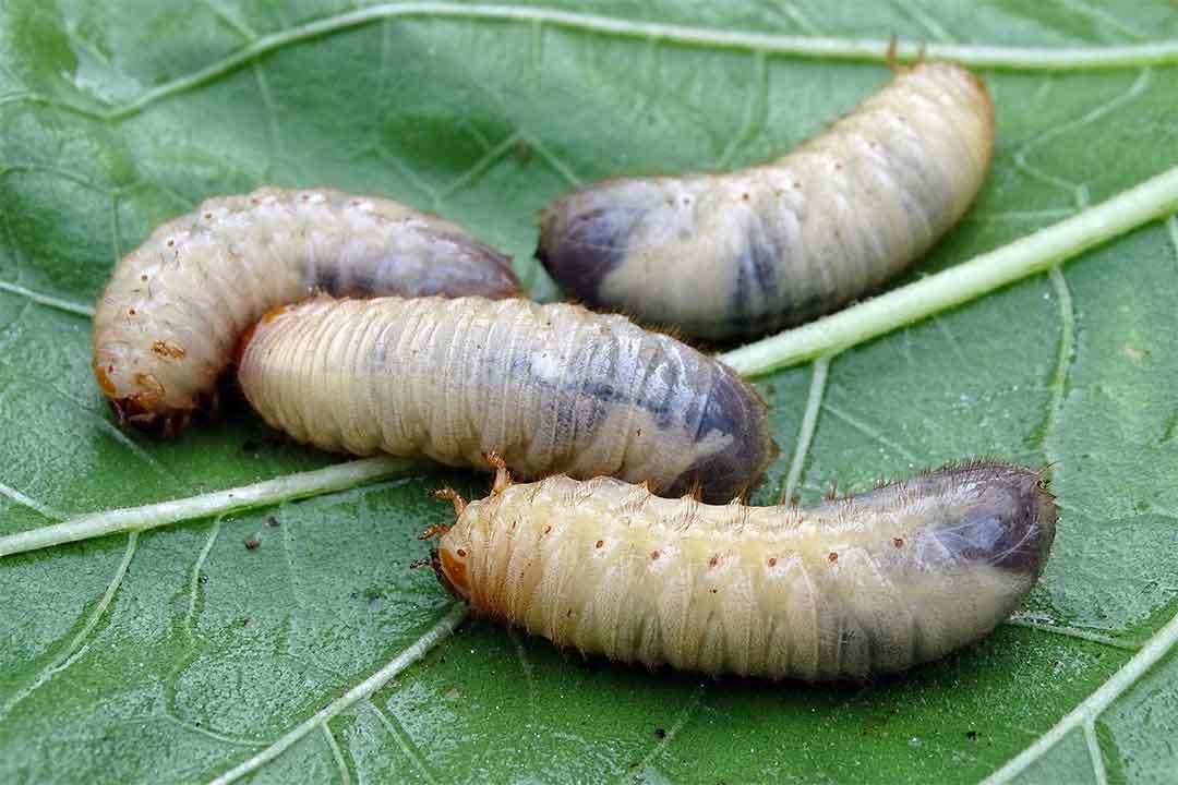 Lufenuron : Bahan Aktif Insektisida Pengendali Hama Tanaman