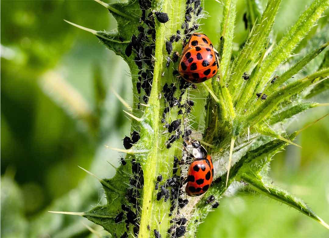 Spinetoram, Bahan Aktif Insektisida Biologi Bersifat Translaminar
