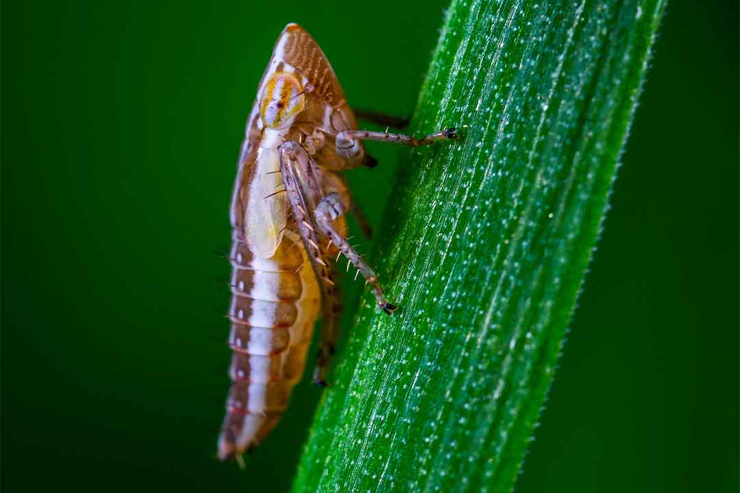 NItenpiram, Bahan Aktif Insektisida Sistemik