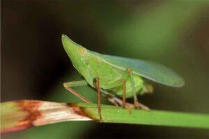 Nitenpiram, Bahan Aktif Insektisida Yang Bersifat Sistemik