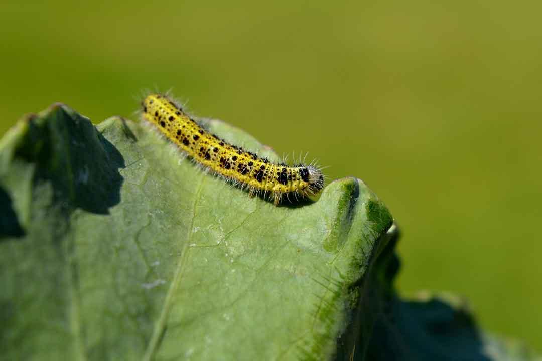 Klorfenapir : Insektisida Pengendali Hama Pengganggu Pada Tanaman