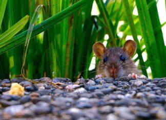 Brodifakum : Bahan Aktif Pengendali Hama Tikus di Sawah